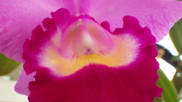 Lc.Purple Beat  'Biwa'  (46)
