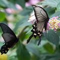 写真: 蝶撮り