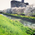 Photos: 桜と菜の花と川と(2)