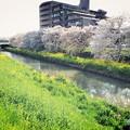 桜と菜の花と川と(2)