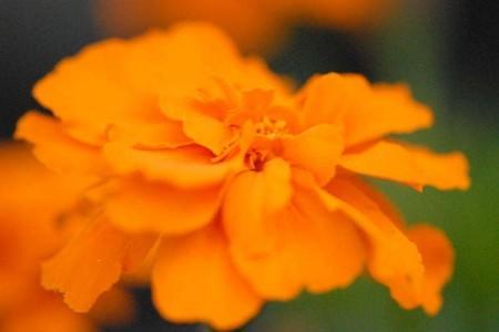 オレンジマリーゴールド