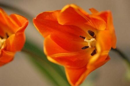オレンジチューリップ