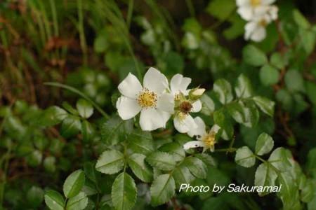 大池公園の白い花