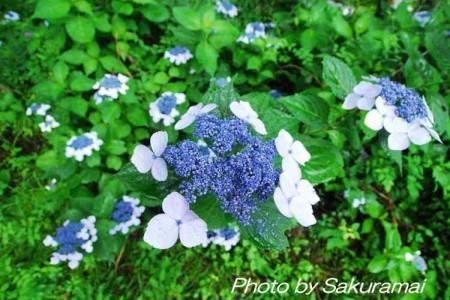 青い紫陽花アップ
