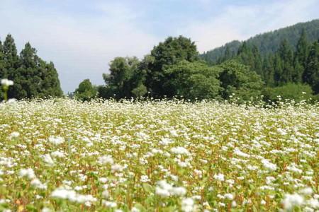 里山の蕎麦畑