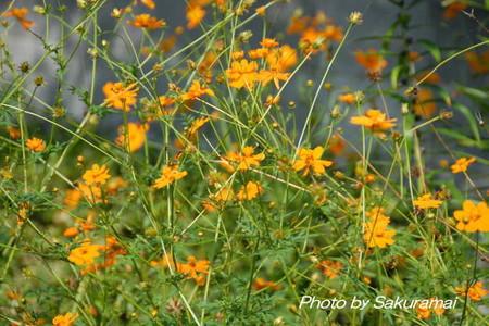 オレンジの花がいっぱい