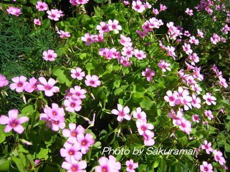 道端のピンクの花