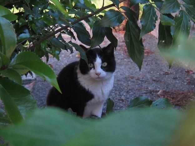 _140518 026 非対称黒白鉢割れ猫