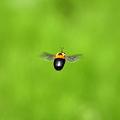 クマバチ飛行~バック