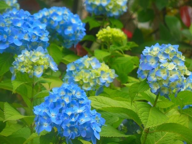 紫陽花~横浜