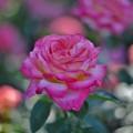 Photos: バラの香りにつつまれて・伊奈-1