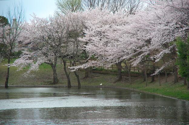 御伊勢塚公園の桜