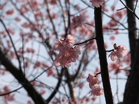 桜(恩田川)