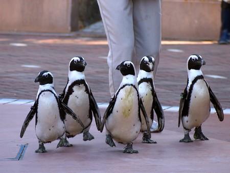 20121207 アドベン ペンギンパレード02