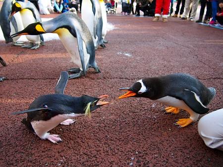 20131207 アドベン ペンギンパレード27