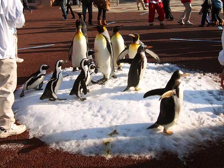20131207 アドベン ペンギンパレード31