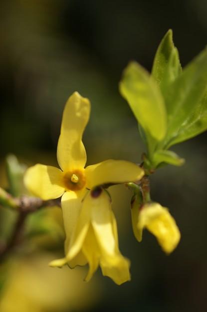 春を告げる黄色い花 連翹 その三