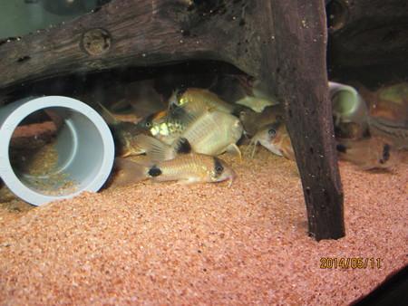 20140511 60cmコリドラス水槽のコリドラス達