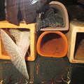 Photos: 20140619 45cmプレコ水槽のプレコ達