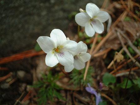ヒゴスミレ(Viola chaerophylloides (Regel) W.Becker var. sieboldiana (Maxim.) Makino)