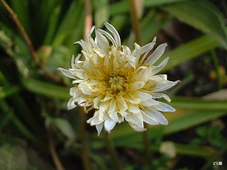 シロバナタンポポ(Taraxacum albidum Dahlst.)