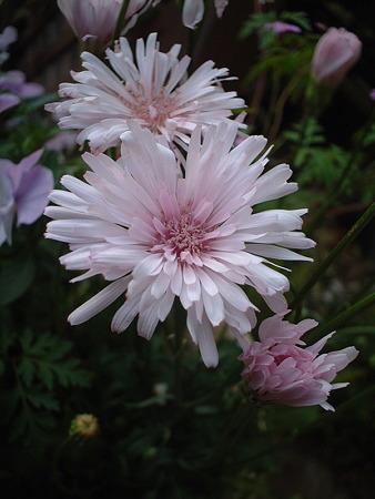 センボンタンポポ(Crepis rubra L.)