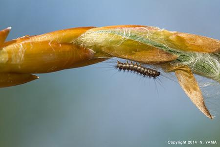 チョウ目の一種