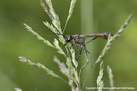 ジガバチ科の一種