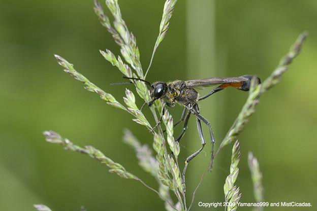 Photos: ジガバチ科の一種