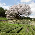 Photos: 納戸料の百年桜