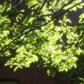 Photos: 丸の内ブリックスクエア中庭 4 5月1日 プロ ソフトン-A使用
