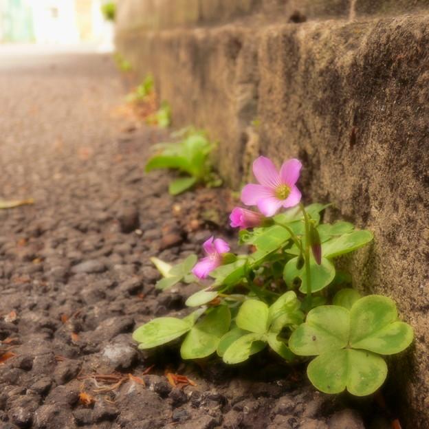 Photos: 道端で咲く…(1)