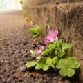 写真: 道端で咲く…(1)