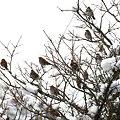 Photos: ツグミのなる木