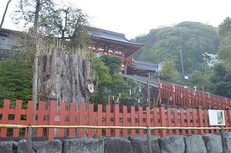 鶴岡八幡宮・御神木:大銀杏
