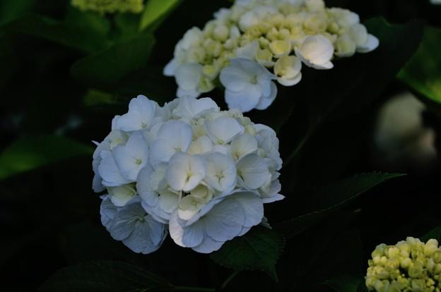 【紫陽花:シロテマリ】(3)