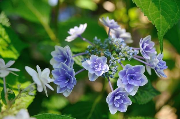 【紫陽花:キュート】(1)