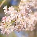 Photos: IMG_6433京都府立植物園・紅枝垂桜
