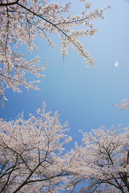 舞い散る桜に願いを掛けて