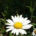 Photos: ひっそりと咲く。
