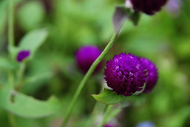 紫の千日紅