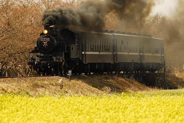 写真: 開花直前の桜と菜の花と蒸気機関車