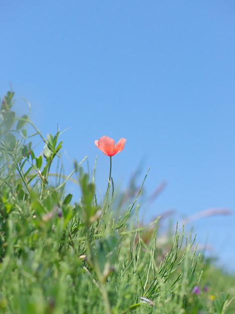丘の上 ヒナゲシの花が