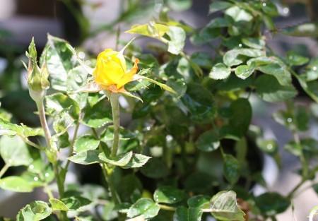 ミニバラが咲いた