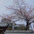 西光院の西行桜