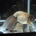 写真: 津軽錦(ツガルニシキ):2006年度第24回日本観賞魚フェア出品個体