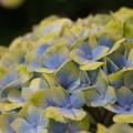 写真: 紫陽花05