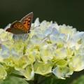 写真: 紫陽花11