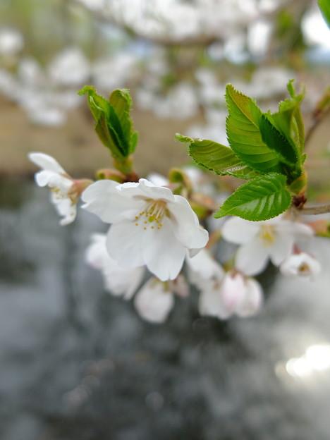 いもり池の桜