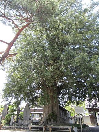石田寺のカヤの木